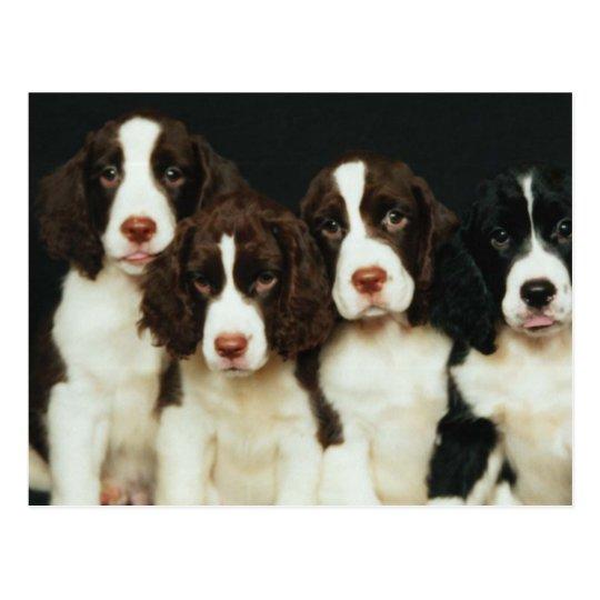 English Springer Spaniel Puppies (2) Postcard