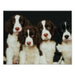English Springer Spaniel Puppies (2) Posters
