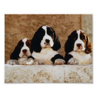 English Springer Spaniel Puppies Poster