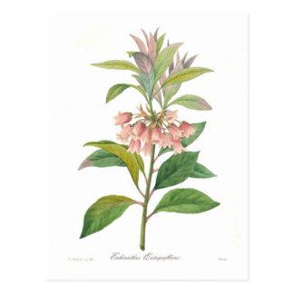 Enkianthus quinqueflorus postcard