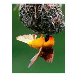 Enmascarar-Tejedor africano (Ploceus Velatus) Postales