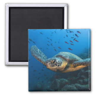 Ennegrezca la tortuga (verde) (agassizi del Chelon Iman De Frigorífico