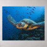 Ennegrezca la tortuga (verde) (agassizi del Chelon Poster