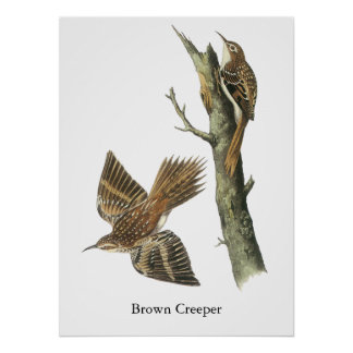 Enredadera de Brown Juan Audubon Poster