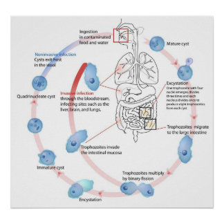 Entamoeba Histolytica Parasitic Protozoan Poster