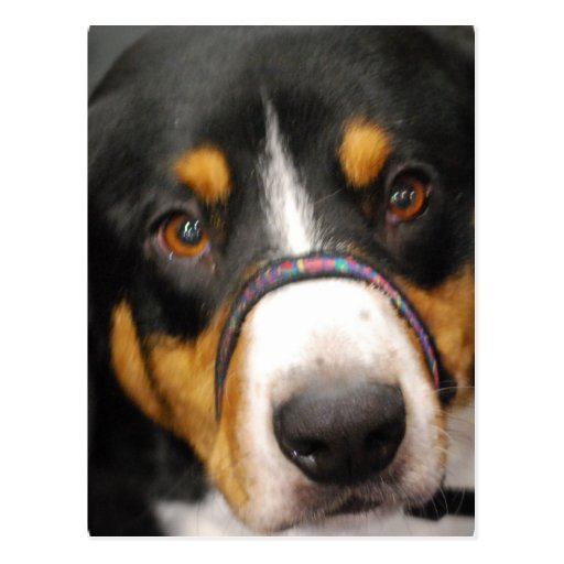 Entlebucher Mountain Dog Postcard