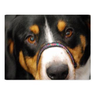 Entlebucher Mountain Dog Postcard