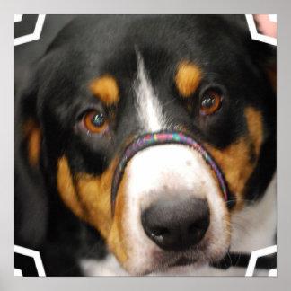 Entlebucher Mountain Dog Poster