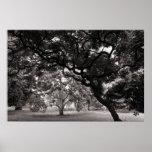 Entre los árboles de la magnolia - BW caliente Poster