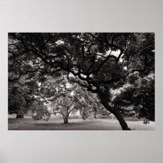 Entre los árboles de la magnolia - BW caliente Póster