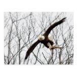 Entrega de la comida de Eagle calvo Tarjeta Postal