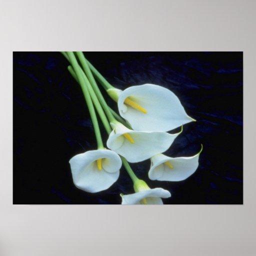 envoltura del blanco A de las flores de los lirios Póster