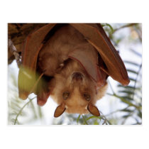 Epauletted Fruit Bat; a mother with child Postcard