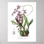 Epidendrum Phœniceum. Impresiones