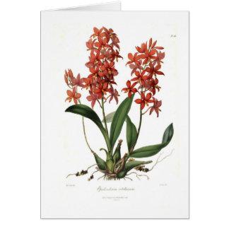 Epidendrum Vitellinum Card