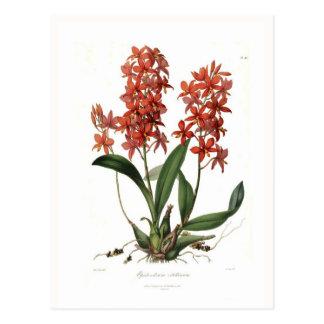 Epidendrum vitellinum postcard