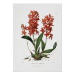 Epidendrum Vitellinum Poster