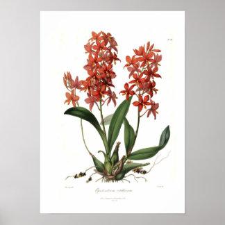 Epidendrum Vitellinum Póster