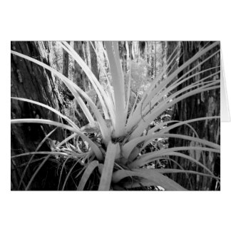Epiphytic tillandsia are common in the Florida, Greeting Card