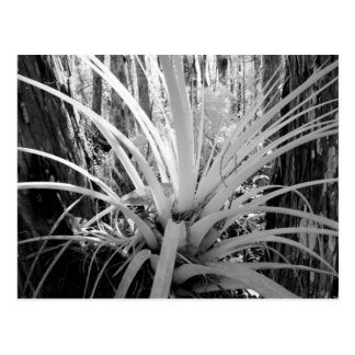 Epiphytic tillandsia are common in the Florida, Postcard