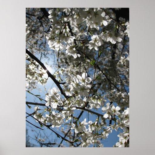 Equinoccio de la flor de cerezo, impresión posters