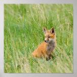 Equipo del Fox rojo en hierba cerca de la guarida Impresiones