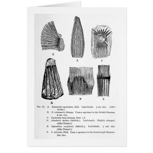 Equisetites spatulatus art postcard greeting card