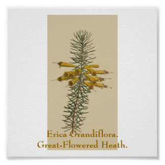 Erica Grandiflora. Great-Flowered Heath. Poster