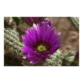 Erizo púrpura poster