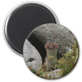 Ermine Magnet