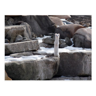 Ermine On Snowy Rocks Post Cards