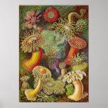 Ernst Haeckel - Actiniae Anemones Posters