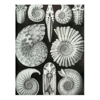 Ernst Haeckel - Ammonitida Postcard