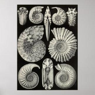 Ernst Haeckel - Ammonitida Poster