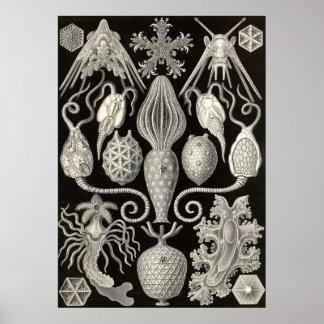 Ernst Haeckel - Amphoridea Poster