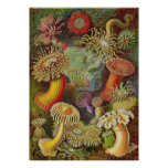 Ernst Haeckel - anémonas de Actiniae Posters
