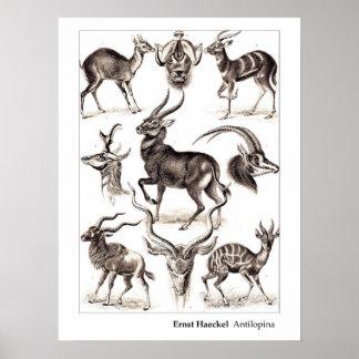 Ernst Haeckel Antilopina with Border Poster