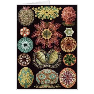 Ernst Haeckel Art Card: Ascidiae Card