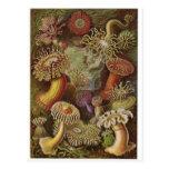 Ernst Haeckel Art Postcard: Actiniae
