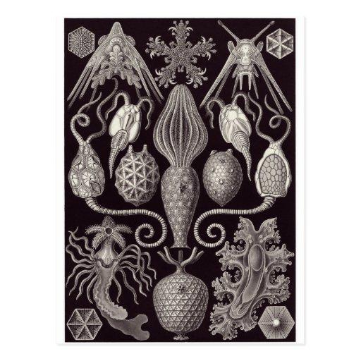 Ernst Haeckel Art Postcard: Amphoridea