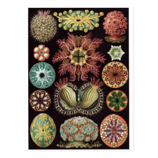 Ernst Haeckel Art Postcard: Ascidiae