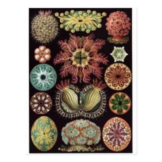 Ernst Haeckel Art Postcard: Ascidiae Postcard