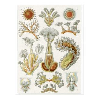 Ernst Haeckel Art Postcard: Bryozoa