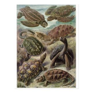 Ernst Haeckel Art Postcard: Chelonia
