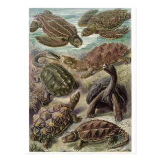 Ernst Haeckel Art Postcard: Chelonia Postcard