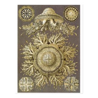 Ernst Haeckel Art Postcard: Discomedusae