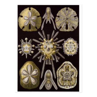 Ernst Haeckel Art Postcard: Echinidea Postcard