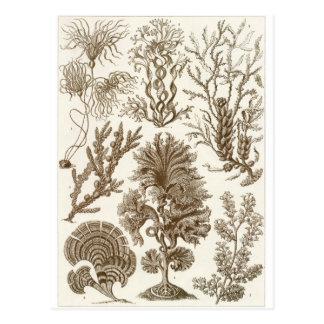 Ernst Haeckel Art Postcard: Fucoideae