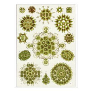 Ernst Haeckel Art Postcard: Melethallia Postcard