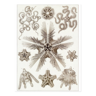 Ernst Haeckel Art Postcard: Ophiodea